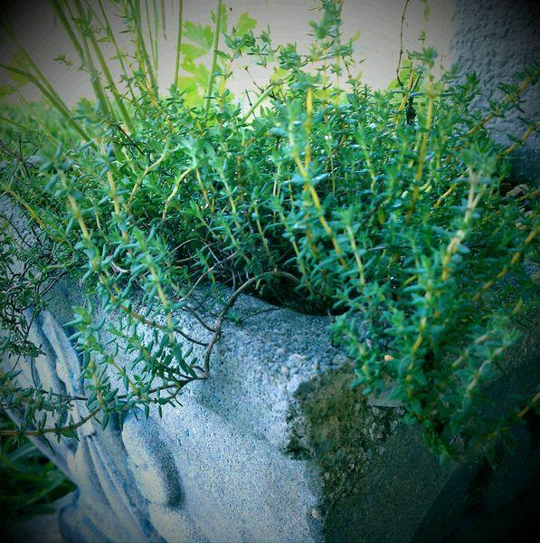 Thyme - Common