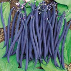 Beans - Purple Burgundy