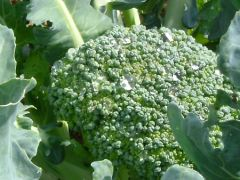 Broccoli - Green Sprouting