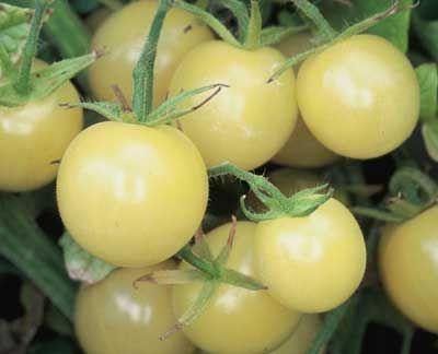 Tomato - Snow White