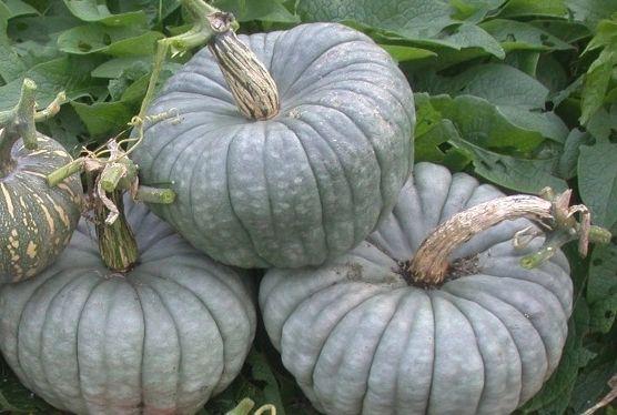 Pumpkin - Queensland Blue