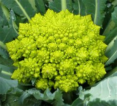 Broccoli - Romanesco