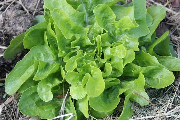 Lettuce - Oakleaf Green