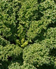 Kale - Green Dwarf Curled