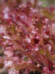 Lettuce - Salad Bowl Red
