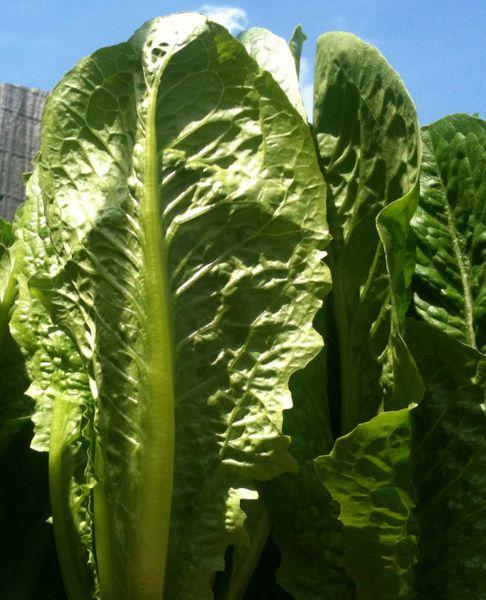 Lettuce - Cos Verdi