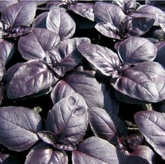 Basil - Purple