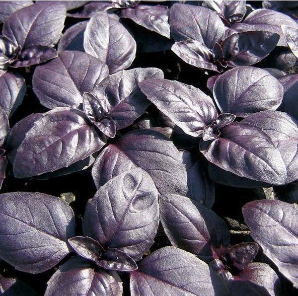 Basil - Purple