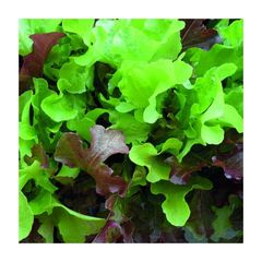 Lettuce - Red and Green Oakleaf Mix