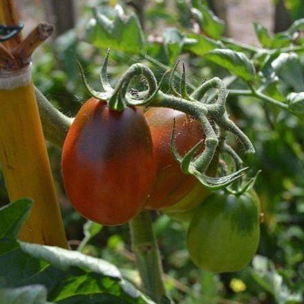 Tomato - Black Plum