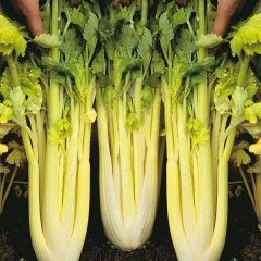 Celery - Golden Self Blanching
