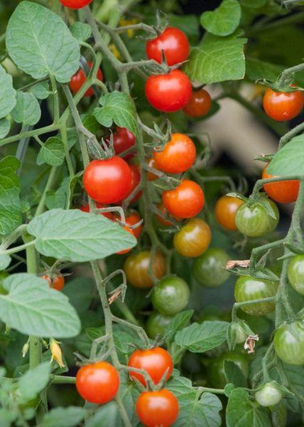 Tomato - Red Currant