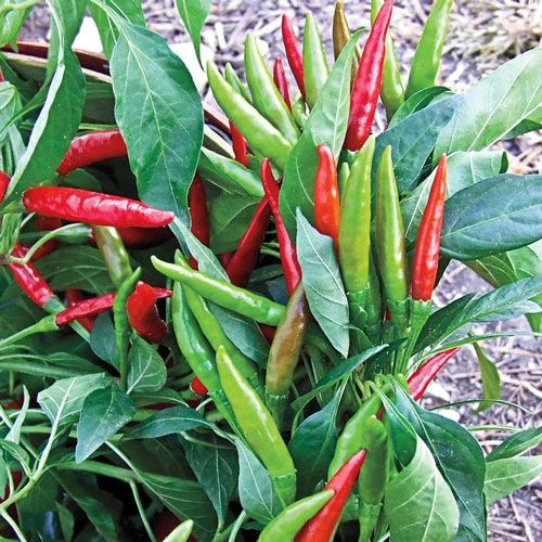 Chilli - Thai Hot