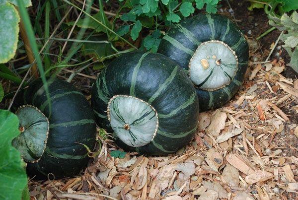 Pumpkin - Buttercup