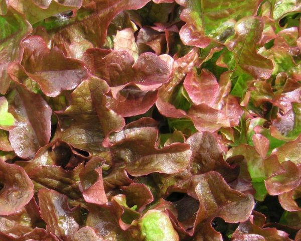 Lettuce - Oakleaf Red