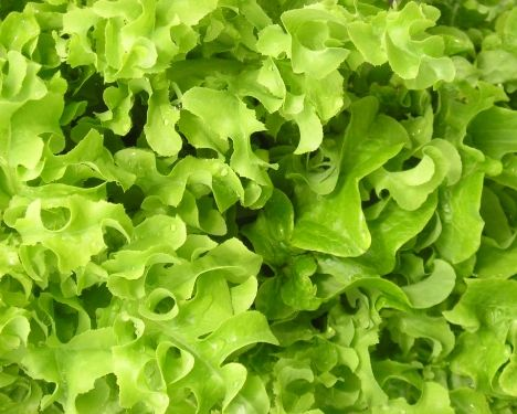 Lettuce - Salad Bowl Green