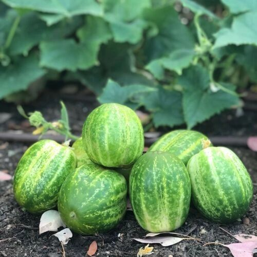 Cucumber - Richmond Green Apple