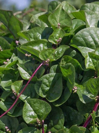 Spinach - Malabar/ Ceylon