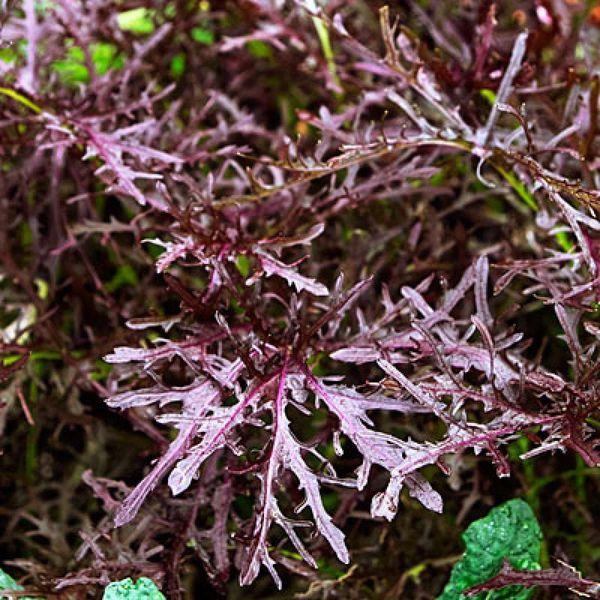 Mustard Greens - Purple Frills