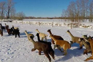 Aerial video and Photography of Alpacas of Montana, Alpacas running in the snow.