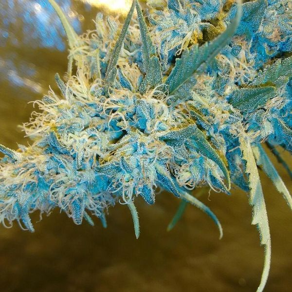 Blue Knight #2 NEW STRAIN NOW AVAILABLE