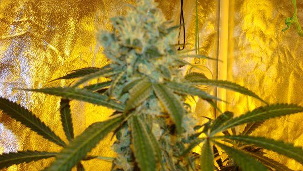 Amnesia Haze x Blue Cheese