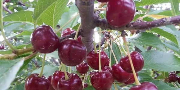 Tart Cherries available around July 1st.