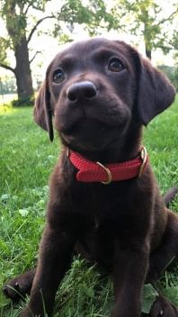 Lab Puppy Socialization