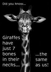 """Giraffe Poster (18"""" x 24"""")"""