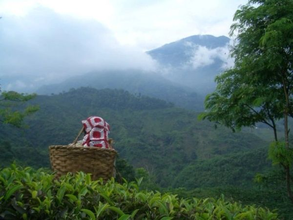 Green Darjeeling Organic