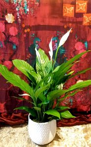 Peace Lily Bainbridge Island Best Florist Flower Shop Delivery