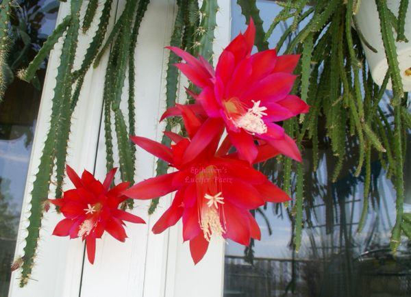 Aporophyllum Hybrid Cactus