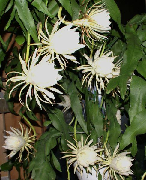 Cereus hildmannianus - Hedge Cactus, Queen of the Night ... |Night Blooming Cereus Cactus Care