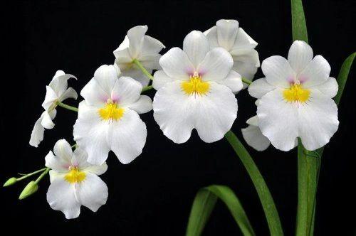 Miltoniopsis Rene Komoda orchid large seedling