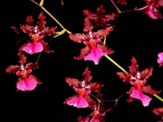 Sharry Baby 'Red Fantasy' Chocolate Orchid - in spike
