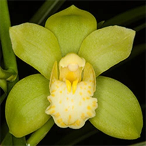 Cymbidium Picasso Moon 'Green Pastures' orchid blooming size