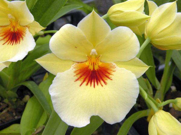 Miltoniopsis Hawaiian Punch orchid, blooming size