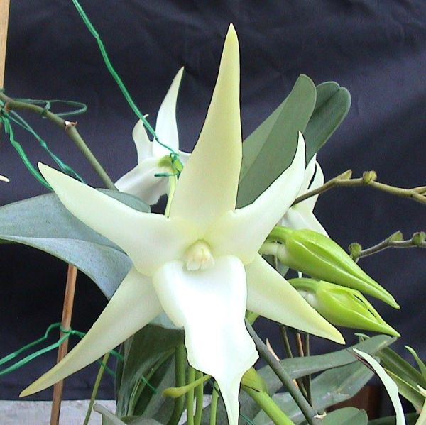 Angraecum sesquipedale orchid - large, nicely started seedling