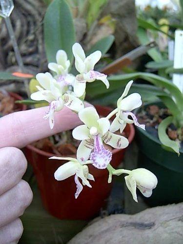 Fragrant Sedirea japonica species orchid seedling, somewhat rare