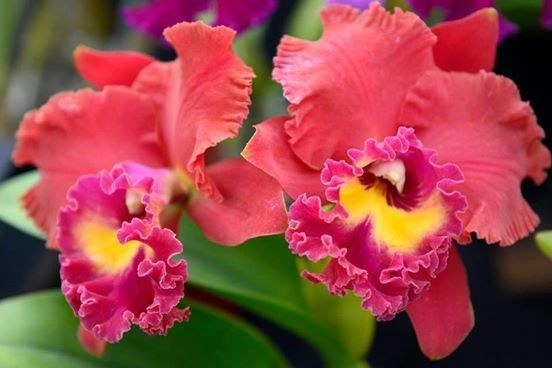 Lovely Rlc. Chaweewan Sunset orchid, blooming size