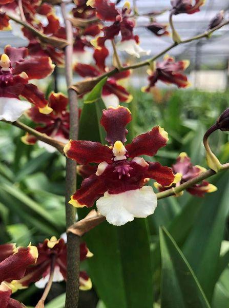 Oncidium Aka Baby 'Raspberry Chocolate' fragrant orchid