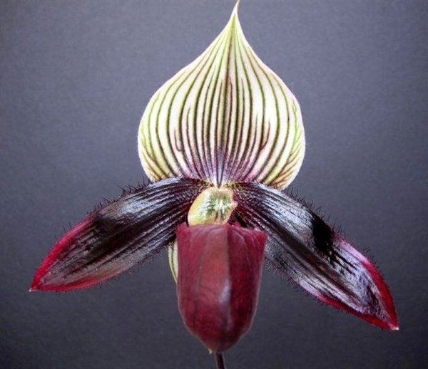 Lovely maudiae type ladyslipper orchid blooming size