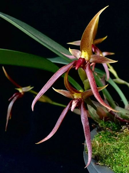 Hard to find Bulbophyllum trigonosepalum, large seedling