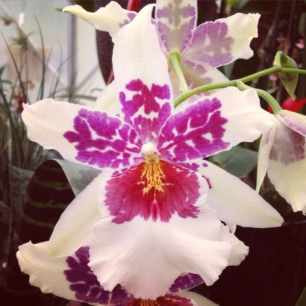 Beallara Big Shot 'Hilo Sparkle' orchid in spike now