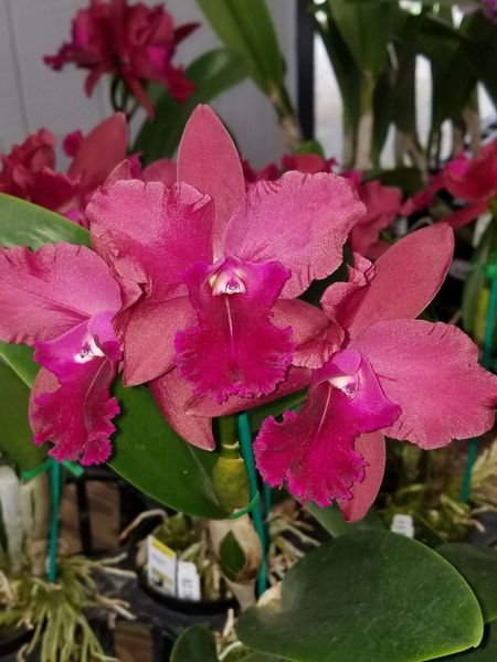 Large, blooming size Rlc. Cherry Kiss orchid