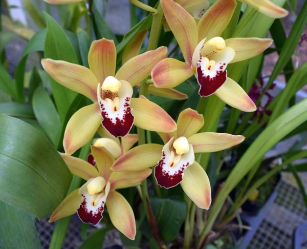 Wow! Large, blooming size Cymbidium Ming 'Emperor'