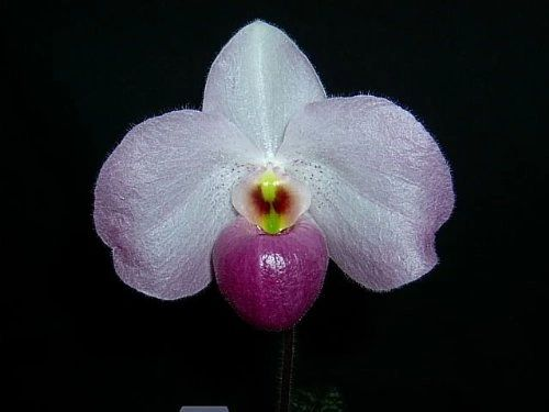 Somewhat rare, blooming size Paph Ho Chi Minh orchid