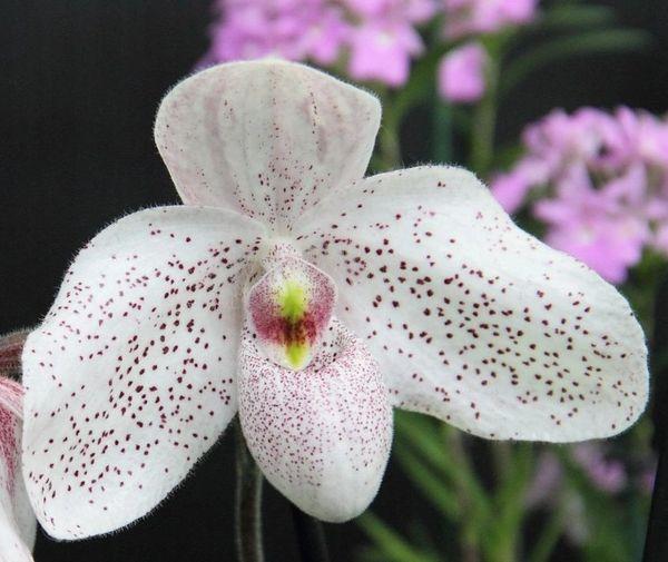 Paph Vanda M. Pearman blooming size 3.5 inch pot