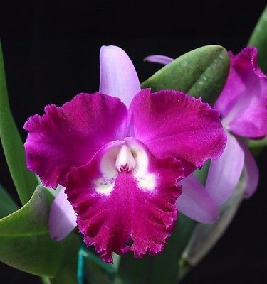 Large, blooming size Blc. Sa-Ngob Delight cattleya orchid