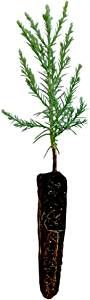 3 Fast Growing Baby California Redwood Tree Plugs